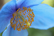 Blue Florals Framed Prints - Himalayan Blue Poppy Macro Framed Print by Jennie Marie Schell