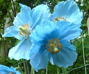 Plant Greeting Cards Prints - Himalayan Poppy Print by Sharon Duguay
