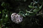 Lynn Palmer - Hindu Rope Hoya Bloom