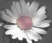 Grey And Pink Prints - Hint of Pink Daisy Print by Michelle Orai