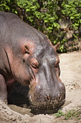 Marilyn Hunt - Hippo Hair 1