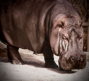 Hippopotamus Digital Art Posters - Hippo Poster by Pennie  McCracken