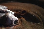 Wingsdomain Art and Photography - Hippopotamus 7D27315