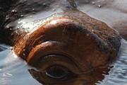 Wingsdomain Art and Photography - Hippopotamus 7D27328