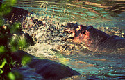 Creature Art - Hippopotamus fight in river. Serengeti. Tanzania by Michal Bednarek