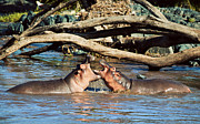 Large Mouth Prints - Hippopotamus fighting in river. Serengeti. Tanzania Print by Michal Bednarek