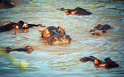 Immersed Framed Prints - Hippopotamus group in river. Serengeti. Tanzania Framed Print by Michal Bednarek