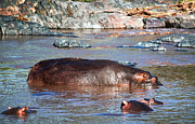 Large Mouth Framed Prints - Hippopotamus in river. Serengeti. Tanzania Framed Print by Michal Bednarek
