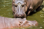 Hippopotamus Photo Posters - Hippopotamus in Water Poster by Artur Bogacki