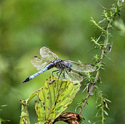 Dragon Fly Framed Prints - His Domain Framed Print by JC Findley