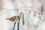 Sparrow Photo Prints - His Eye Is On The Sparrow Print by Kay Pickens