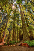 California Artist Prints - His Royal Highness - California Redwoods I Print by Dan Carmichael