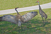 Sandhill Crane Photos - Hittin the Road by Aimee L Maher
