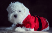 Sleepy Maltese Prints - Ho Ho Ho Merry Christmas Print by Melanie Lankford Photography