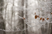 Freezing Prints - Hoar Frost Print by Anne Gilbert