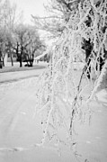 Overhanging Posters - hoar frost on overhanging bare tree branches during winter Forget Saskatchewan Canada Poster by Joe Fox