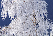 White Frost Posters - Hoar Frost on Tree Poster by Sharon  Talson