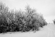 Conditions Framed Prints - hoar frost on trees and hedges by the side of the road during winter Forget Saskatchewan Canada Framed Print by Joe Fox