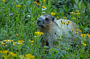 Natural Focal Point Photography - Hoary Marmot in Glacier...