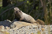 Featured On Fineart America - Hoary Marmots by Sean Griffin