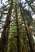 David Yunker - Hoh Rain Forest