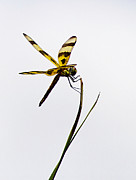 Striped Dragon Fly Prints - Holding On Print by Anne Rodkin