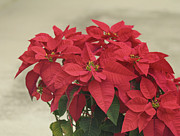 Holiday Decoration Framed Prints - Holiday Poinsettia Framed Print by Kim Hojnacki