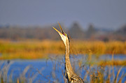 Gray Heron Posters - Hollering Heron Poster by Al Powell Photography USA