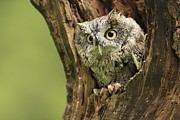 Shelley Myke Prints - Hollow Screech- Eastern Screech Owl Print by Inspired Nature Photography By Shelley Myke