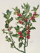 Berry Drawings - Holly by Alice Bailly