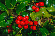 Beatles Photos - Holly and Berries by Terrie Heslop