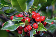 Holiday Decoration Framed Prints - Holly Berries 2 Framed Print by Sharon  Talson