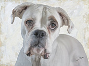 Boxer Digital Art Prints - Holly the Boxer Print by Iain S Byrne
