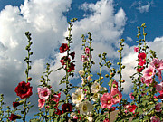 Flowers Against The Sky Prints - Hollyhock Standing Tall Print by Barbara Chichester