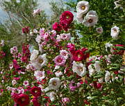 Hollyhocks Posters - Hollyhocks Poster by Carolyn Dalessandro