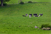 Bucolic Scenes Photos - Holsteins by Bill  Wakeley