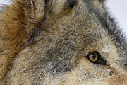 Wolf Prints - Holy Macro Print by Robert Weiman
