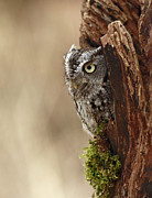 Shelley Myke Art - Home Sweet Home - Eastern Screech Owl in a Hollow Tree by Inspired Nature Photography By Shelley Myke