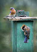 Eastern Bluebird Prints - Home Sweet Home Print by Lori Deiter