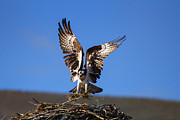 Osprey Framed Prints - Homebuilder Framed Print by Mike  Dawson