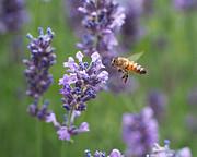 Bumble Bees Posters - Honey Bee and Lavender Poster by Rona Black