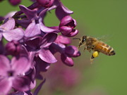 Peterson Nature Photography Posters - Honey Bee and Lilac Poster by Melissa Peterson