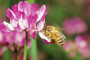 Vetch Posters - Honey Bee Apis Mellifera Collecting Poster by Fukuo Ito
