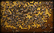 Honeycomb Prints - Honey Bee Colony - Beekeeper Print by Lee Dos Santos