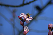 Leia Burt Art - Honey Bee On Almond Blossom by Leia Burt