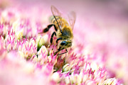 Nectar Posters - Honey Bee - Pink Flower Poster by May L