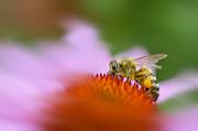 Dan Friend - Honey bee pollen on leg