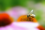Dan Friend - Honey bee probing for food