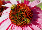 Amy McDaniel - Honey Bees and Echinacea...