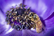 Honeybee And Anemone  Print by Priya Ghose